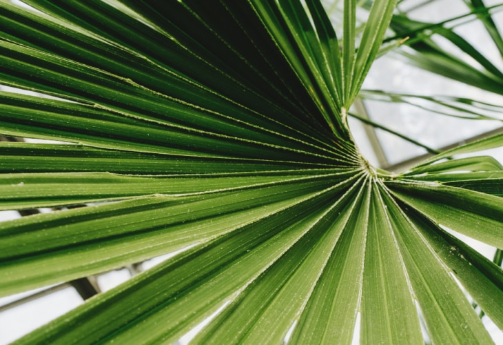 Palm tree leaf used in urology treatments by Pierre Fabre